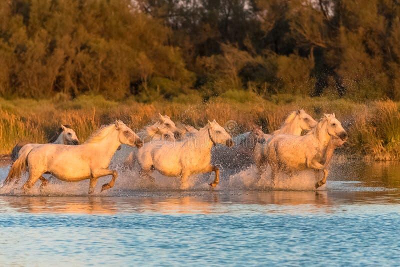 走在水中的马 免版税库存照片