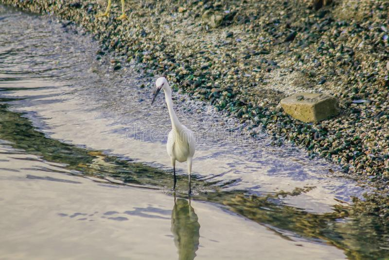 走在水的白鹭 库存图片