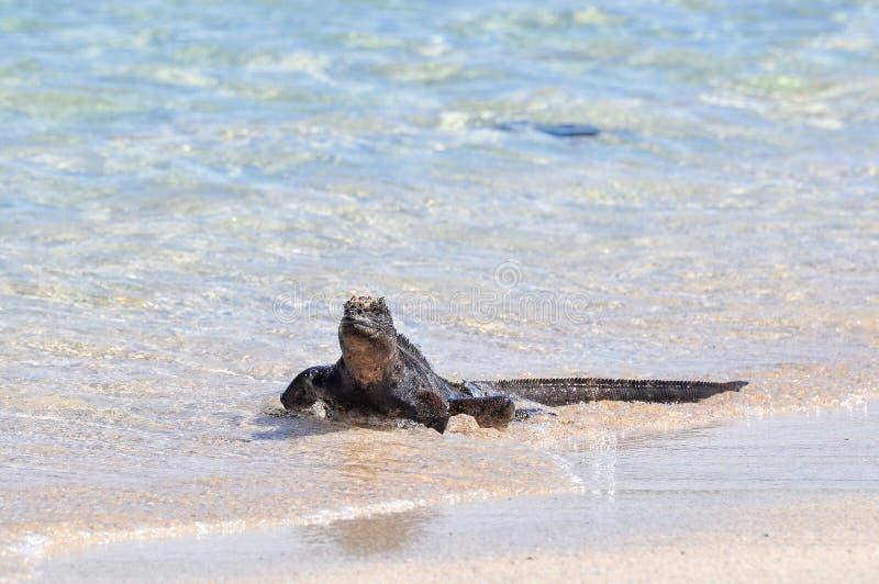 走在水,加拉帕戈斯群岛,厄瓜多尔的边缘的海产鬣蜥蜴 免版税库存照片