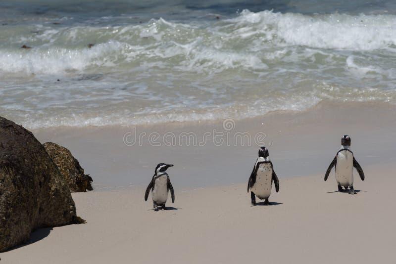 走在沙子海滩的三只湿非洲企鹅 图库摄影