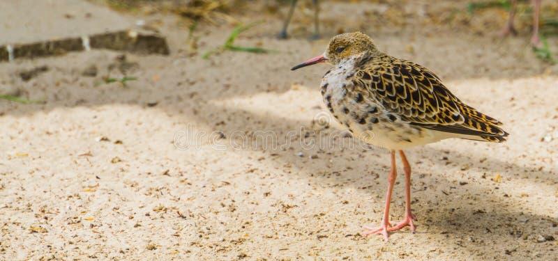 走在沙子的一条共同的红色小腿的特写镜头,从欧亚大陆的矶鹞,沿海涉水鸟 免版税库存图片