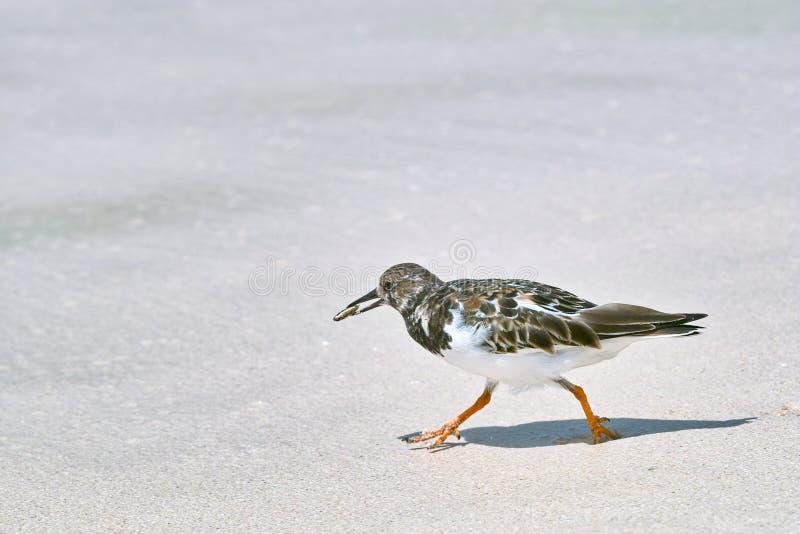 走在沙滩的翻石鹬鸟 库存照片