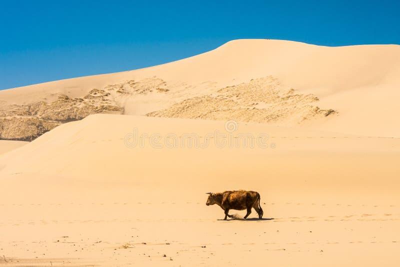 走在沙漠的母牛 图库摄影