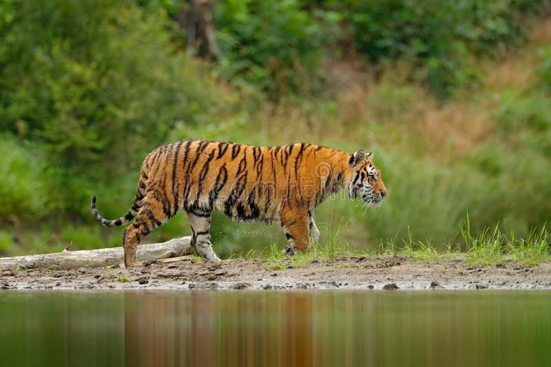 走在河水的阿穆尔河老虎 危险动物, tajga,俄罗斯 在绿色森林小河的动物 灰色石头,河小滴 西伯利亚 库存图片