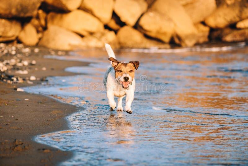 走在海水的海滩的快乐的狗在日落 免版税库存照片