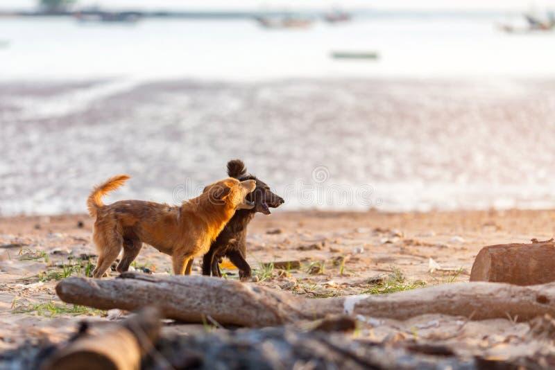 走在海滩的两条狗 库存图片