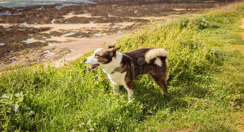 走在海滩的小的彭布罗克角狗威尔士小狗 库存图片