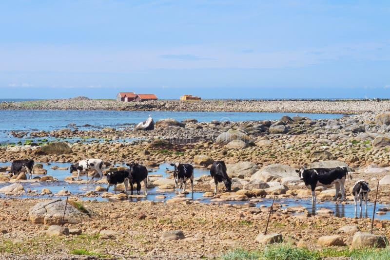 走在海滩的母牛 免版税库存照片
