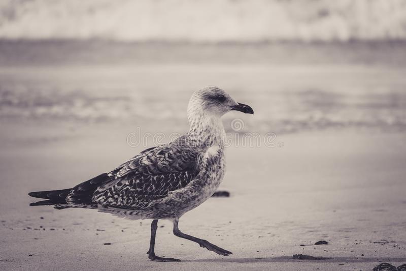 走在海滩的鸥小鸡的美好的被定调子的图象 免版税库存照片