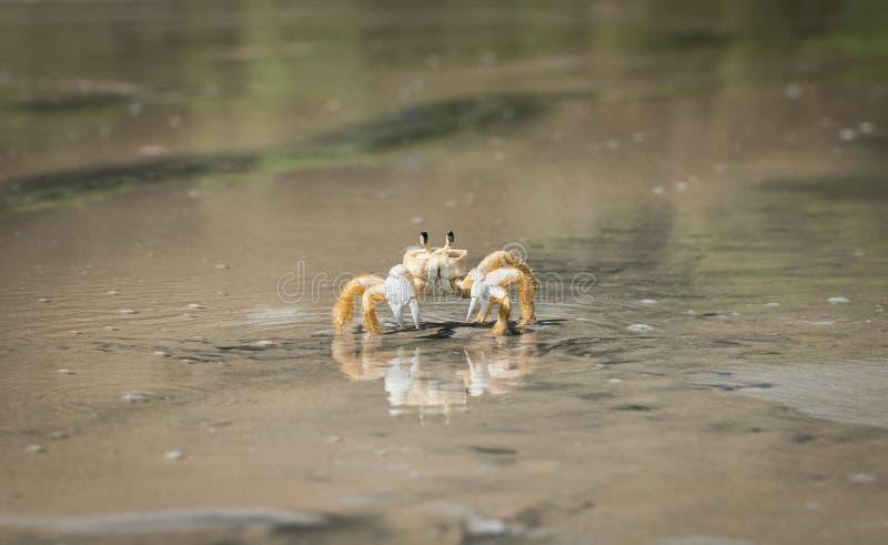 走在海滩的黄色螃蟹 免版税库存照片