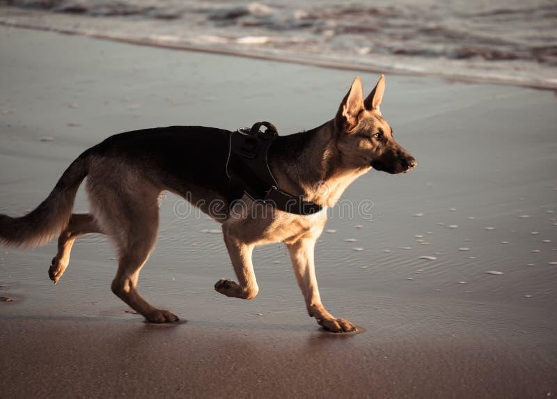 走在海的岸的幼小德国shepard狗美丽的画象海滩的在日落 免版税库存图片