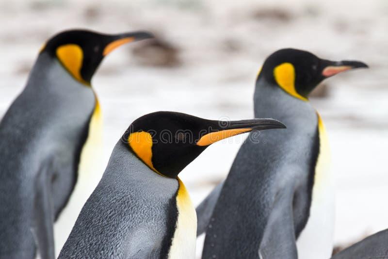 走在海滩特写镜头的三企鹅国王 库存图片