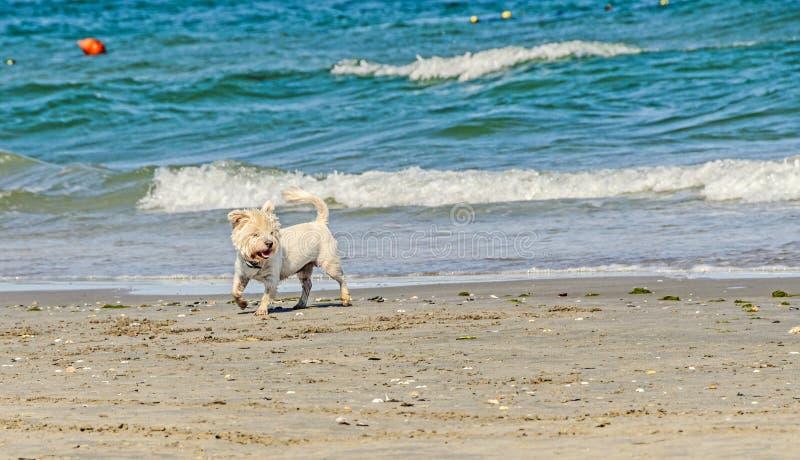 走在海滩的白色bishon狗在大海附近挥动 免版税库存照片