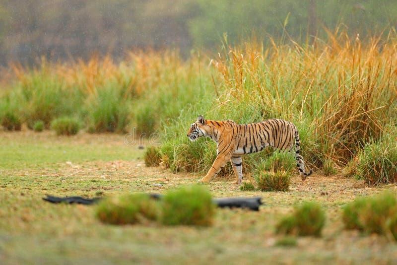 走在湖草的老虎 与第一雨,野生危险动物在自然栖所, Ranthambore,印度的印地安老虎 大猫, 免版税库存图片