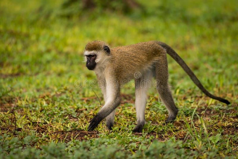 走在湿草草坪的黑长尾小猴 免版税库存照片