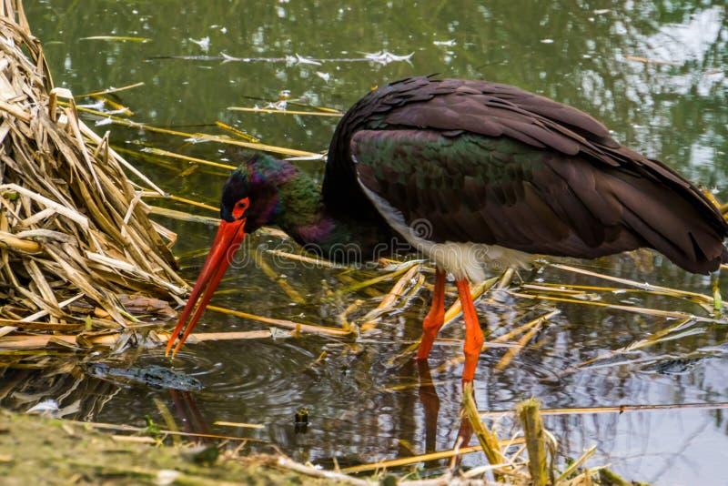 走在特写镜头,一只共同的鸟的画象的水中的黑鹳在欧亚大陆 免版税库存图片
