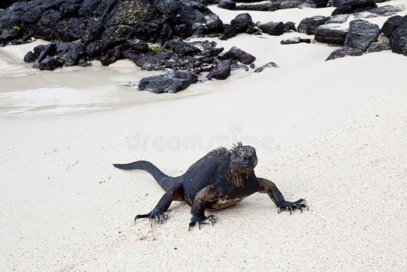 走在白色沙子的鬣鳞蜥 免版税图库摄影