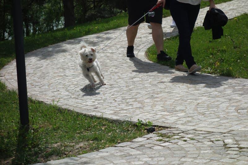 走在皮带的Bichon狗在公园 免版税库存图片