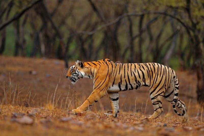 走在石渣路的老虎 有第一雨的,野生动物在自然栖所, Ranthambore,印度印地安老虎女性 重婚 库存照片