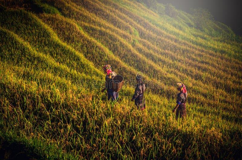 走在米的妇女调遣露台在日落在Mu Cang柴 图库摄影