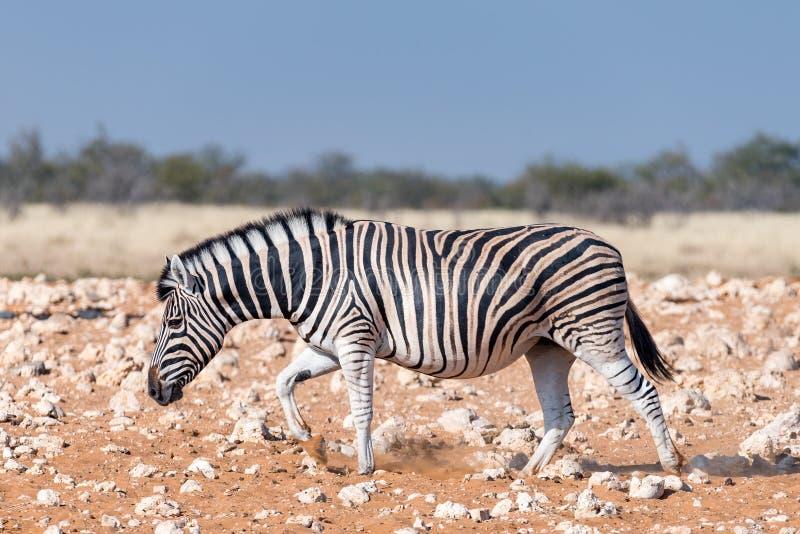 走在红色沙子的怀孕的Burchells斑马母马 免版税图库摄影