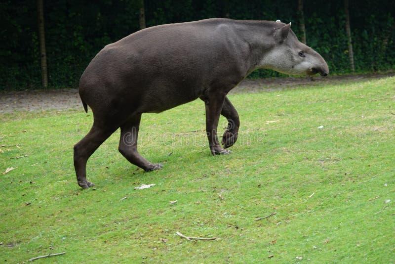 走在绿草小山的南美貘 库存图片