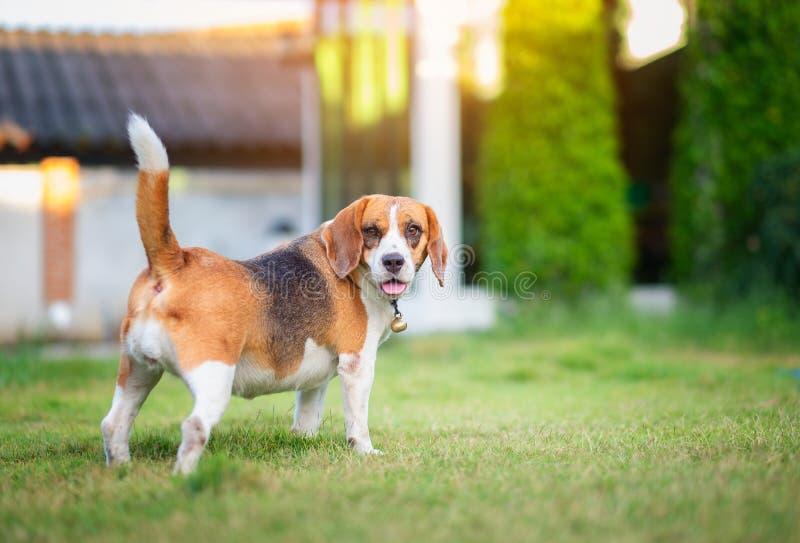 走在绿草的小猎犬狗 库存照片