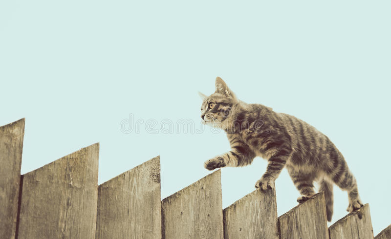 走在老木篱芭的蓬松灰色猫 图库摄影