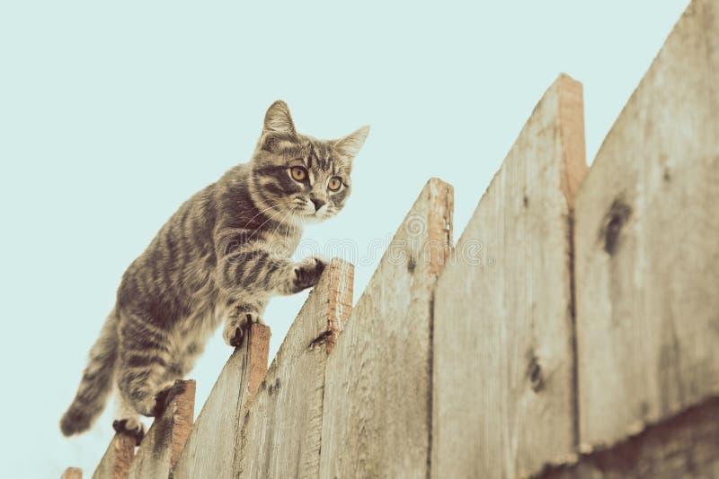 走在老木篱芭的蓬松灰色猫 免版税图库摄影