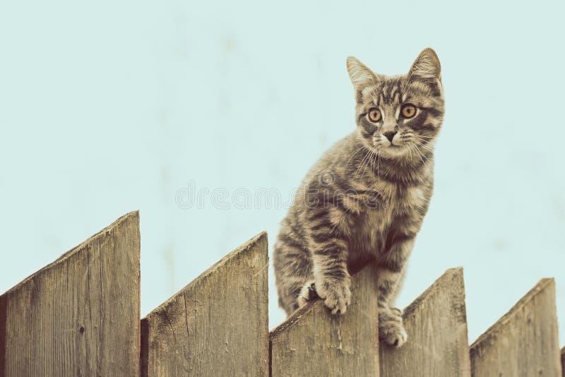走在老木篱芭的蓬松灰色猫 库存图片
