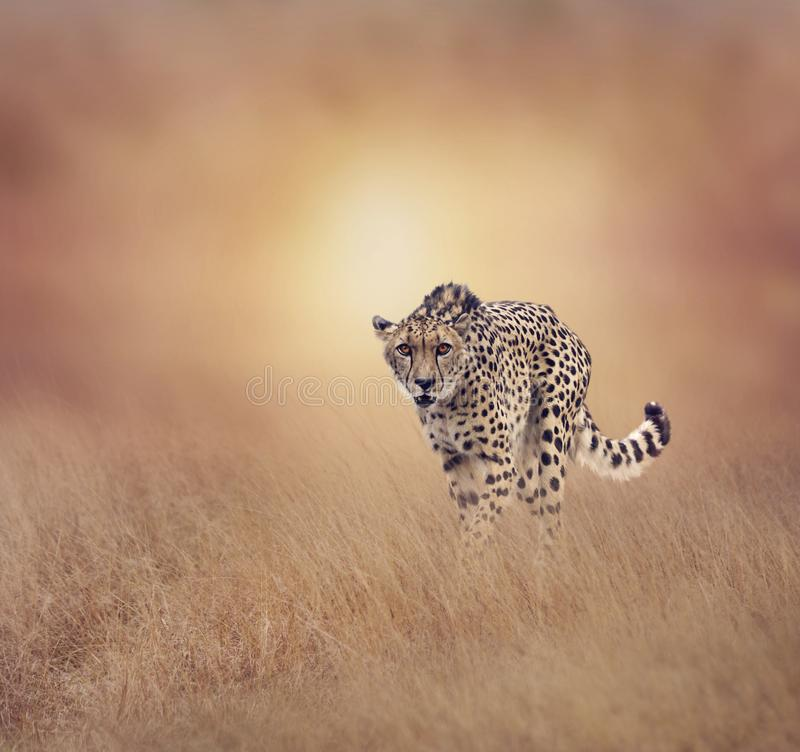 走在草原的猎豹 库存照片