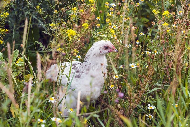 走在草和花的年轻鸡 免版税库存照片