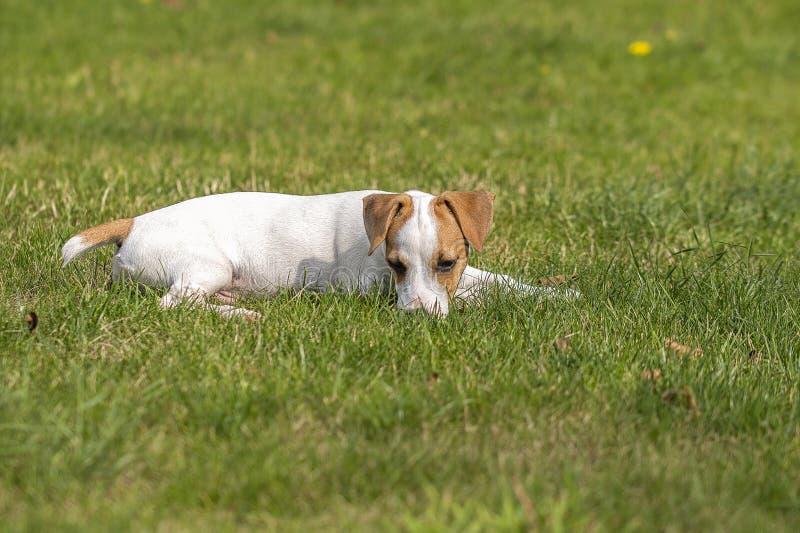 走在草坪的三个月小狗品种杰克罗素狗 狗饲养 宠物和关心 库存照片