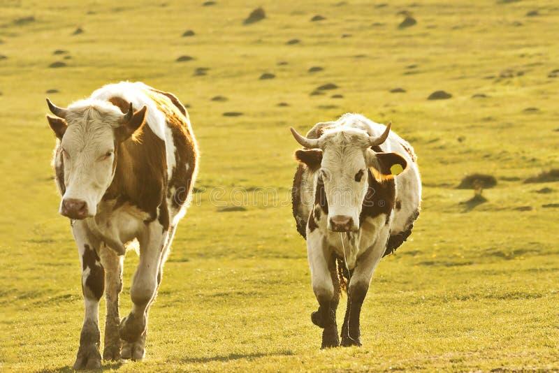 走在草甸的母牛 免版税库存图片