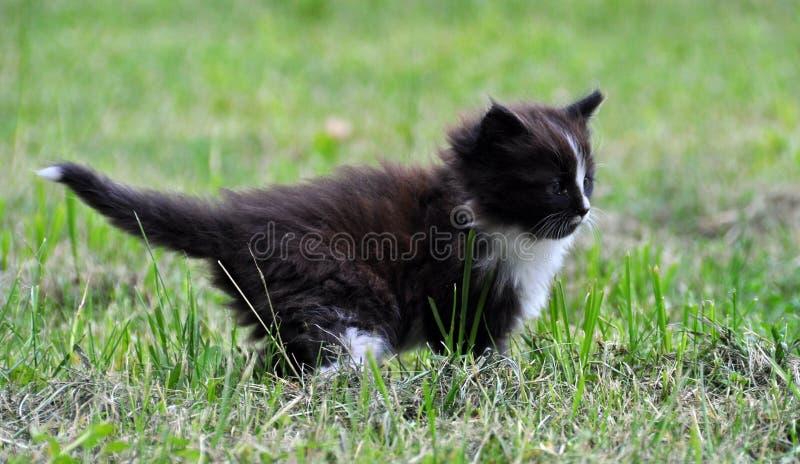 走在草的小的小猫 图库摄影