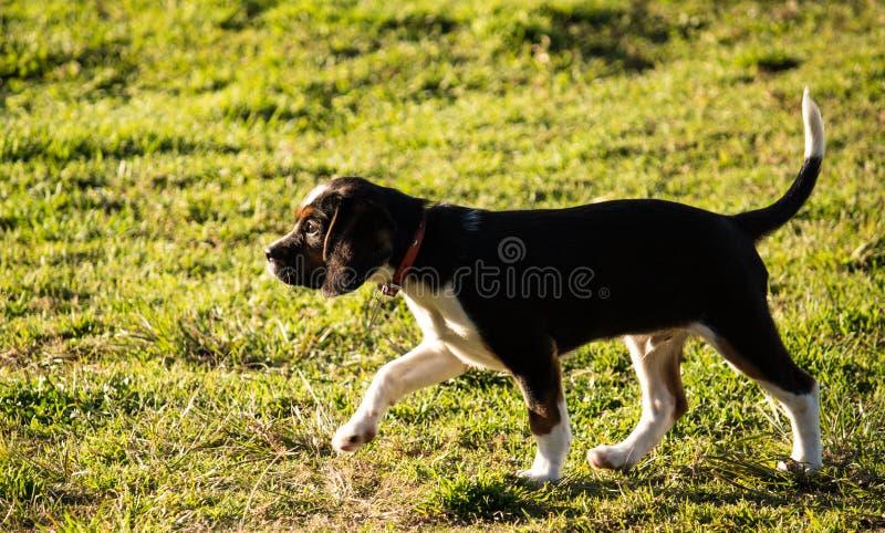 走在草的纯血统小猎犬小狗 免版税库存照片