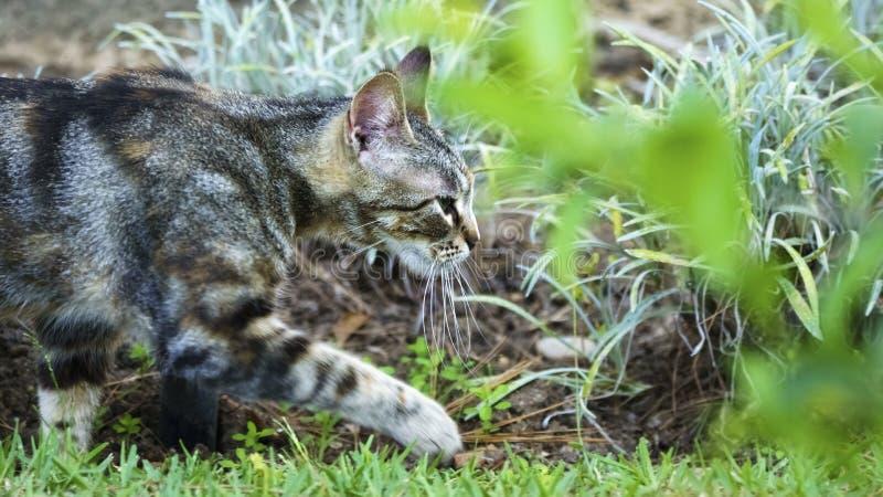 走在草的野猫 免版税库存照片