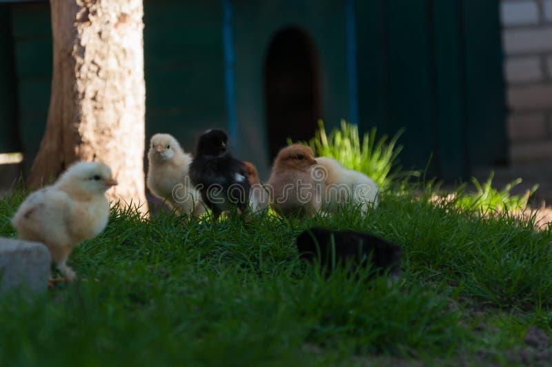 走在草的鸡 库存图片