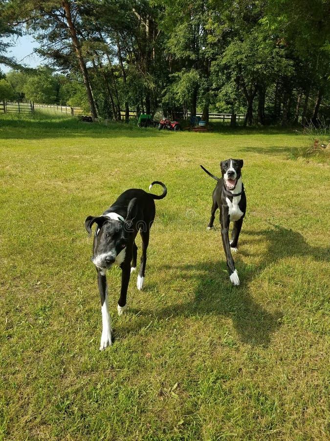 走在草的黑白狗 免版税库存图片