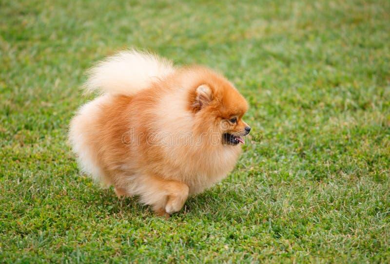 走在草的Pomeranian狗 免版税库存照片