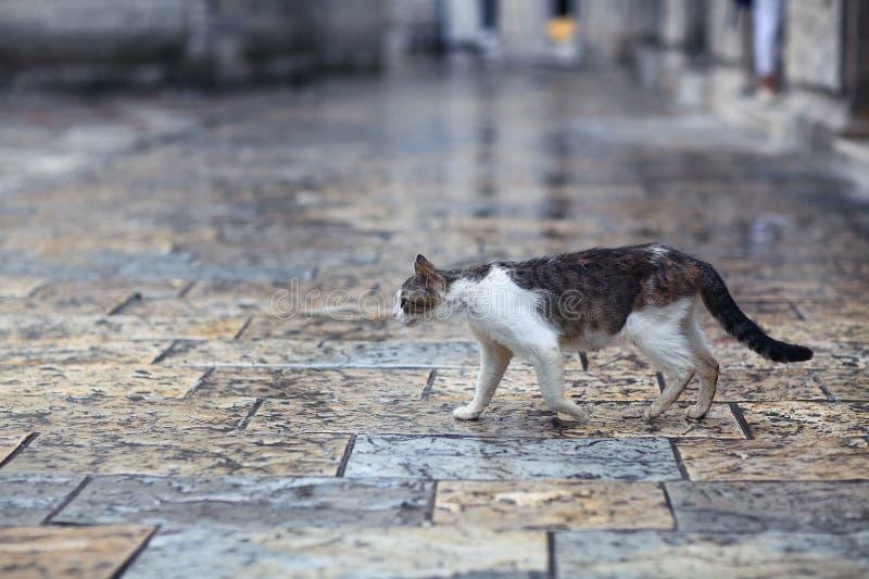 走在街道上的野生猫 库存照片