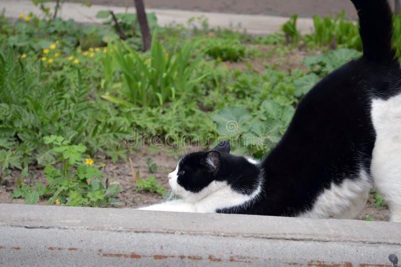 走在街道上的黑的白色家猫 库存照片