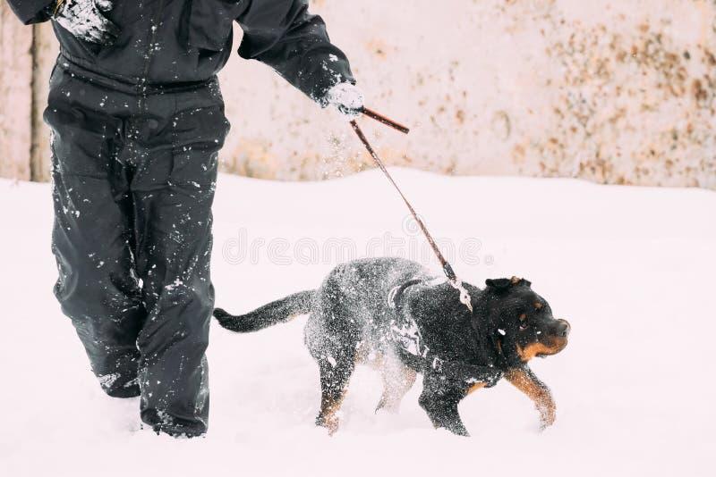走在训练期间的黑Rottweiler Metzgerhund狗 冬天 图库摄影