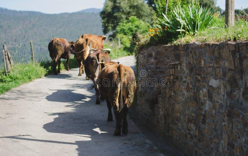 走在路的母牛 库存照片