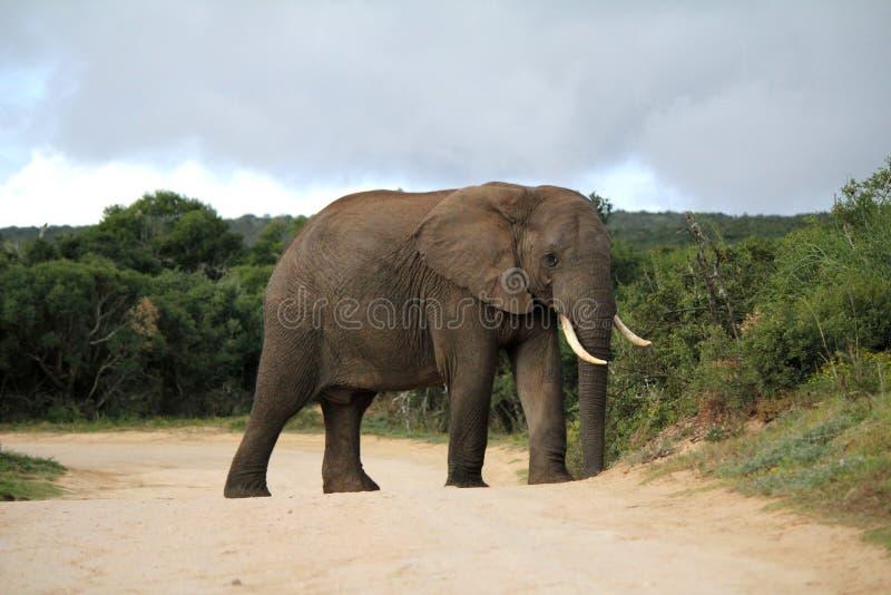 在路的非洲大象 图库摄影