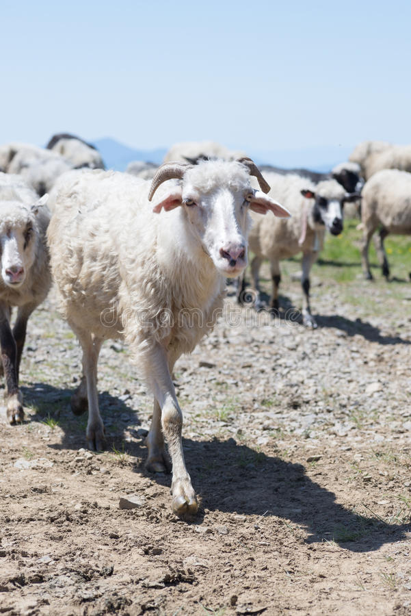 走在路的绵羊群到乌克兰喀尔巴汗吃草 免版税库存照片