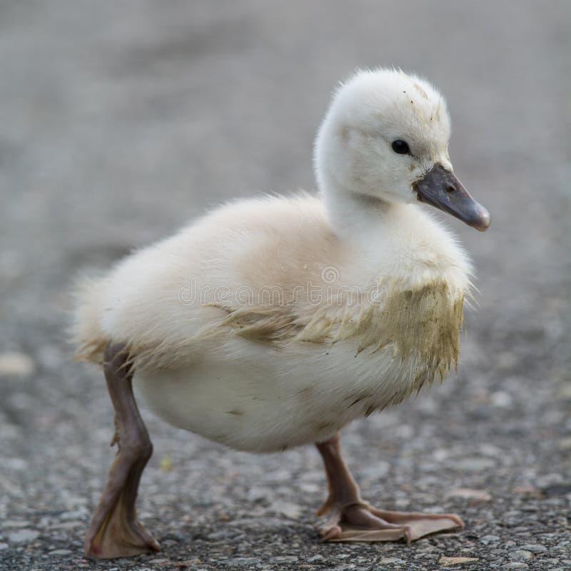 走在道路的一只泥泞的疣鼻天鹅小天鹅 库存照片