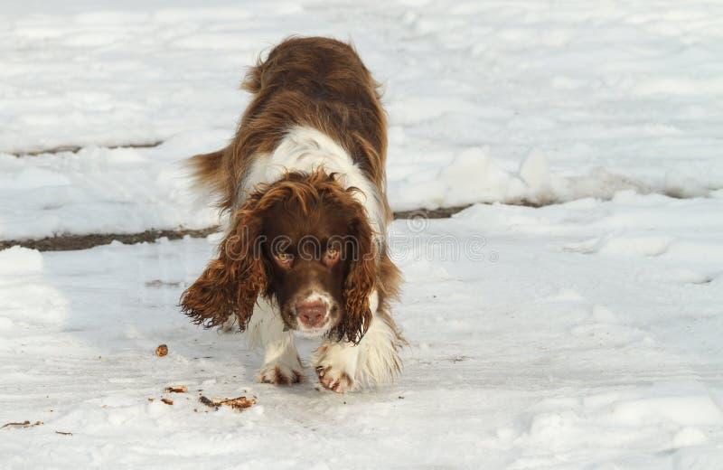 走在雪的一条美丽的英国斯伯林格西班牙猎狗狗 免版税图库摄影