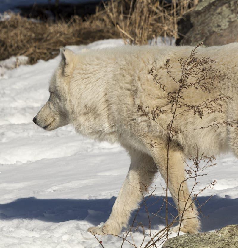 走在雪的北极狼 库存照片