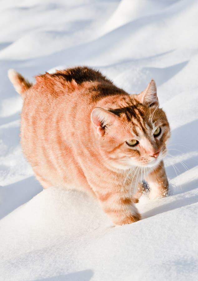 走在雪的猫 库存照片